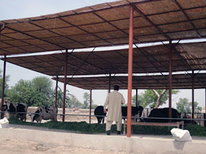 Cheap Dairy Farm Shed Construction