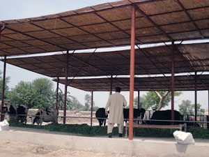 cheap-dairy-shed-construction